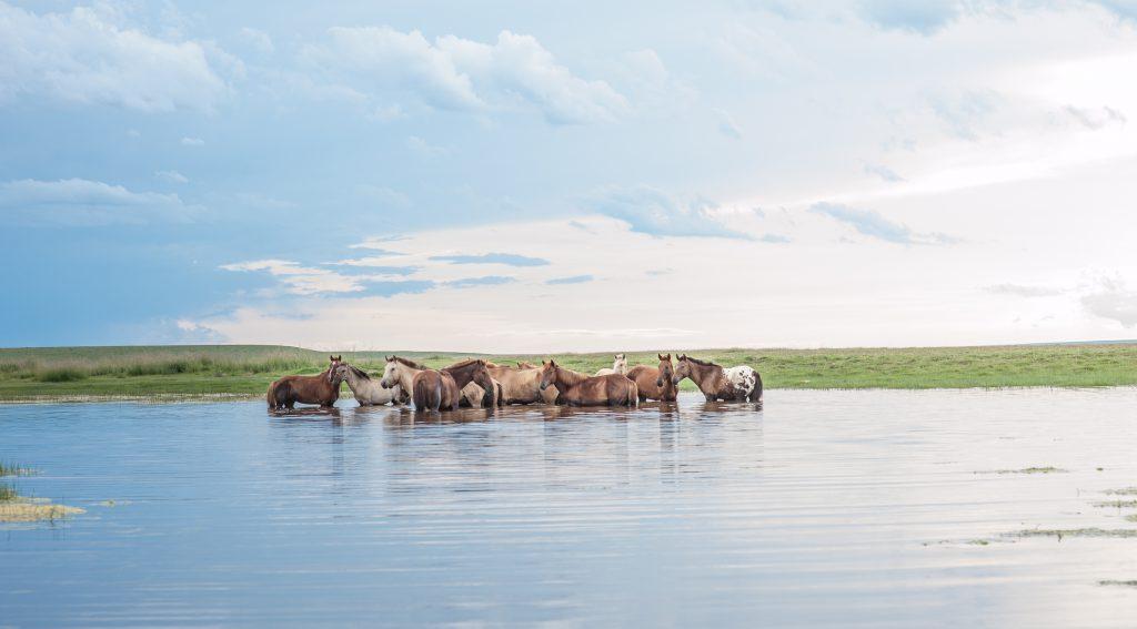 Paarden in het water in Mongolië