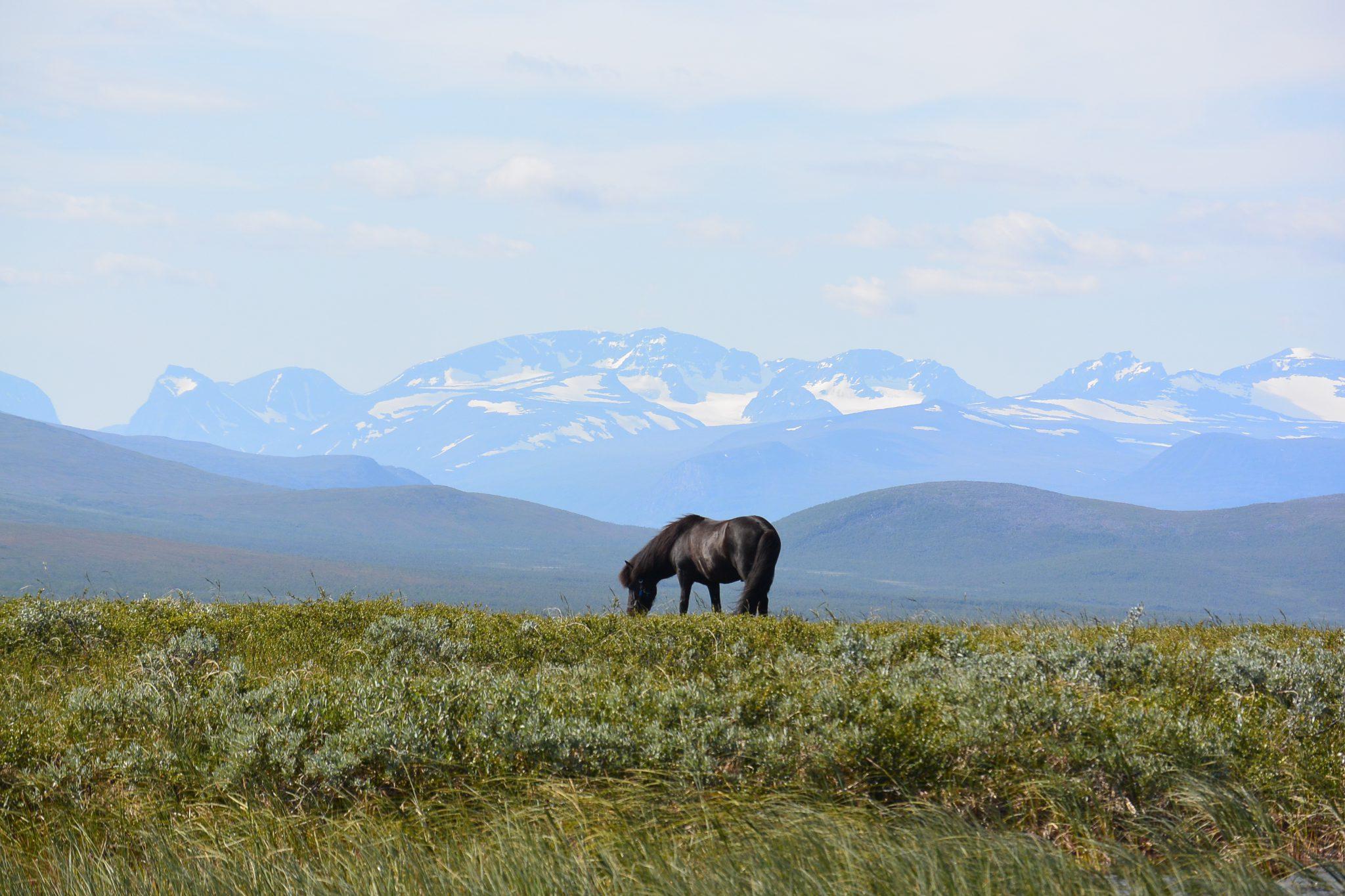 IJslands paard in de bergen van Zweden
