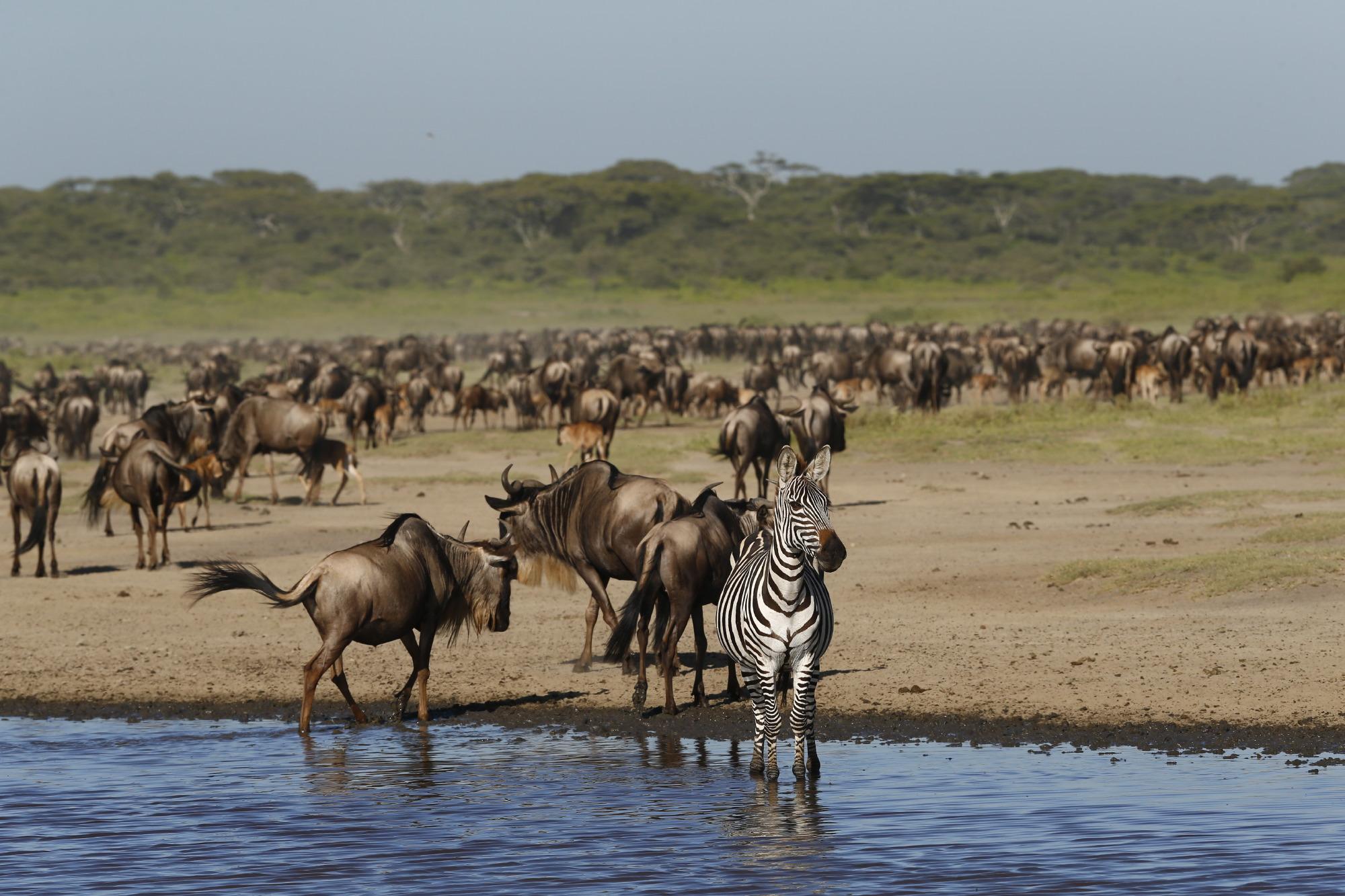 Zebra en gnoe's op paardrijvakantie in Afrika