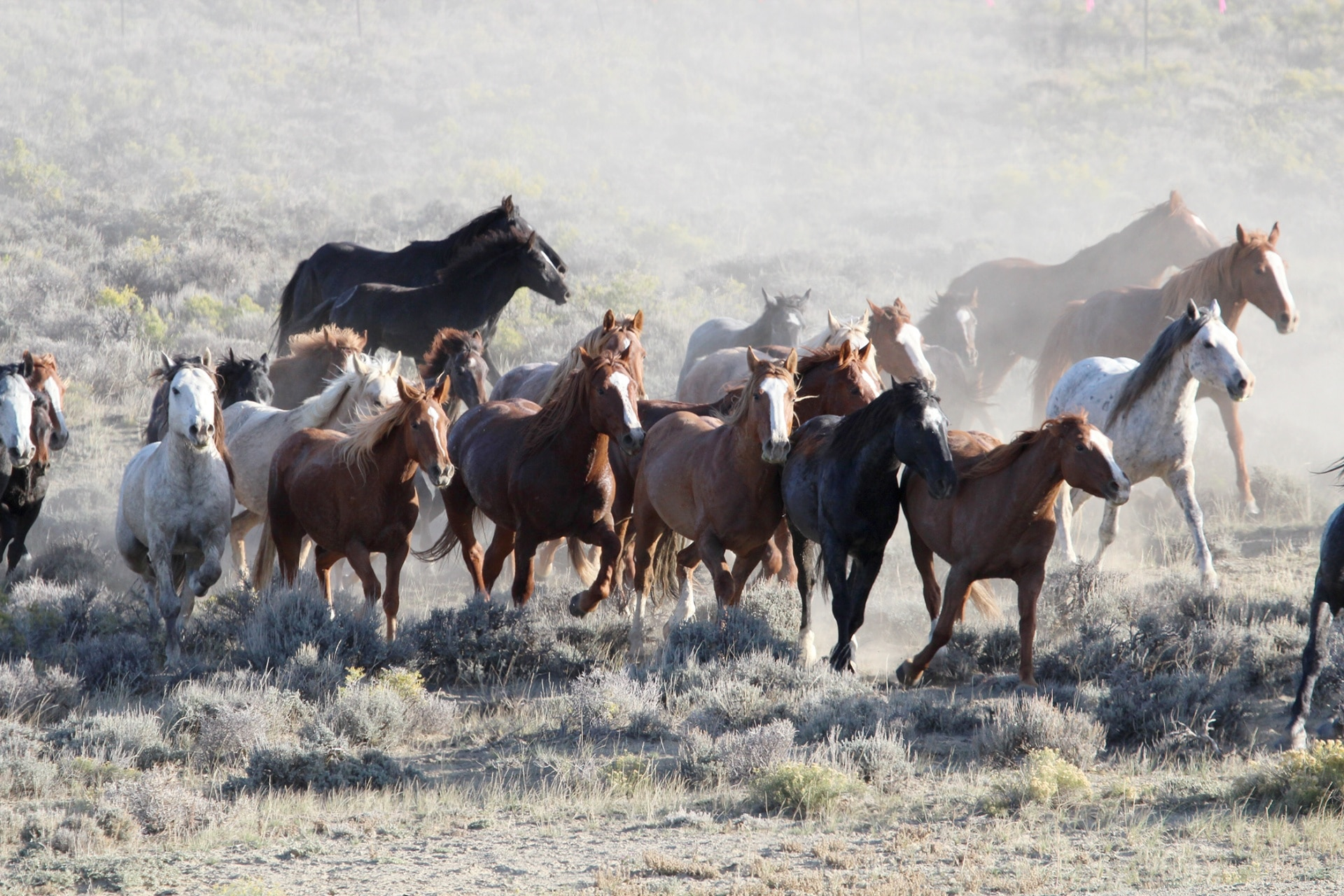 Kudde paarden in de VS