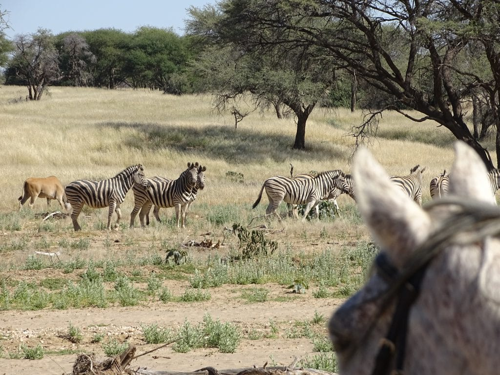 Paard en zebra's in Namibië